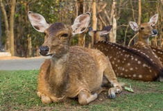 Young deers Royalty Free Stock Photo