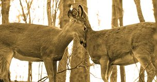 The young deers feels love Royalty Free Stock Images