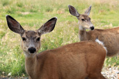 Young deers in a field Royalty Free Stock Images