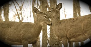 The young deers are kissing Royalty Free Stock Image