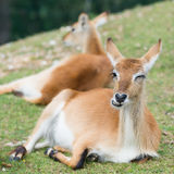 Young defassa waterbuck deer Stock Photography