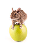 Young degu on the apple Stock Photos