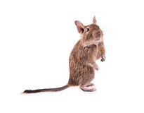 Young degu isolated Royalty Free Stock Photo