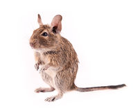 Young degu isolated Royalty Free Stock Images