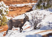 A young desert big horned sheep browses on twigs with fresh snow covering the red rocks of Zion National park Utah stock photo
