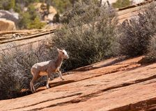 A young desert big horned sheep climbs a slickrock slope in Zion national park Utah royalty free stock photos