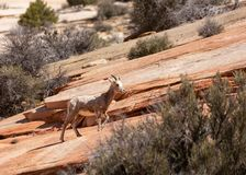A young desert big horned sheep makes it`s way up a slope or red slickrock in Zion national park Utah royalty free stock image