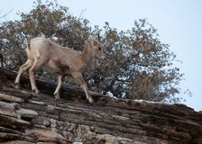 A young desert big horned sheep walks along the top of a red sandstone cliff royalty free stock photography