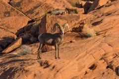 Young Desert Bighorn Ram Royalty Free Stock Photo