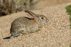 Young Desert Cottontail Rabbits Royalty Free Stock Image