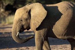 Young desert elephant of Namibia Stock Photos