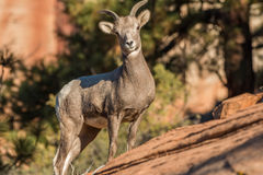 Young Desert  Sheep Stock Photography