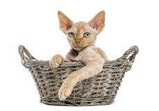 Young Devon rex in a wicker basket isolated on white Stock Photos