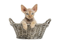 Young Devon rex in a wicker basket isolated on white Royalty Free Stock Photo