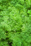 Young dill plant Royalty Free Stock Photo