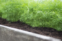 Young dill plants on the kitchen garden. Photo of dill harvest for eco cookery business. Selective soft focus. Antioxidant kitchen Stock Images