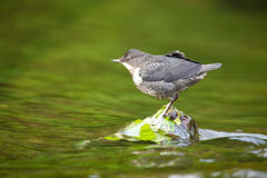Young dipper. Stock Image
