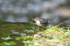 Young dipper. A view of a dipper foraging in shallow water and leaf litter Royalty Free Stock Photography