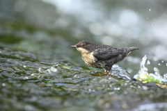 A young dipper. A young dipper foraging for food in shallow fast moving water Stock Photography