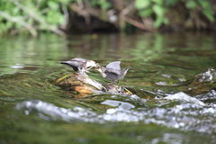Young dipper bird. A young dipper being fed in the middle of a river Stock Images