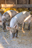 Young dirty pink domestic pig with muddy snout, big ears and dirty hoofs, vertical format Royalty Free Stock Photography