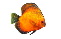 Young discus Stock Image