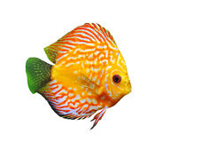 Young discus Stock Photo