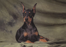 Young doberman Stock Images