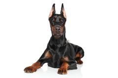 Young Doberman lying on white background Stock Photography