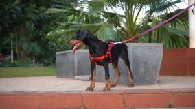 Young doberman puppy looking for his friends in dog park.