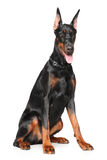 Young Doberman on white background Royalty Free Stock Photo