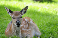 Young doe Stock Photo