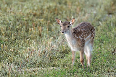 Young doe. Close up of a young doe in a meadow Royalty Free Stock Image
