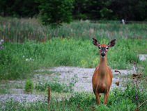Young Doe. / Deer looking at you stock image