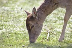 A young doe deer grazing stock images