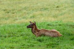 Young doe elk lying in the grass. Looking left royalty free stock photos
