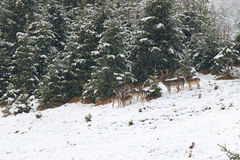 Young doe, female and male deer standing in the forest during a Stock Photo