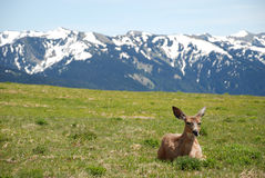 Young Doe on Hurricane Ridge Royalty Free Stock Photos