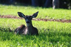 Young doe. This is a doe I took on the campus of UCSC Royalty Free Stock Photos