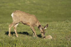 Young doe in the meadow. Whitetail doe smelling a rock Stock Photo