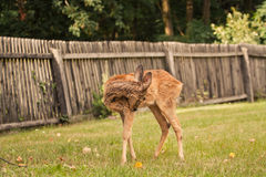 Young doe Royalty Free Stock Images