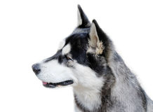 Young dog. Royalty Free Stock Photo
