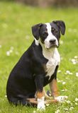Young dog royalty free stock photo