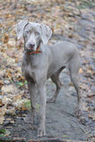 Young dog. Young hunting dog elegantly standing. The short-haired weimaraner breed royalty free stock image