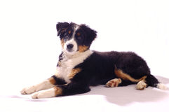 Young dog. Portrait of a young dog (cross between a Border Collie and a Bouvier Bernois Royalty Free Stock Photography