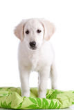 Young dog Stock Image