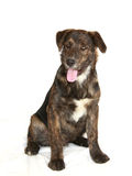 Young Dog. Cute young lab mix dog on white backdrop sheet - not isolated Stock Photos