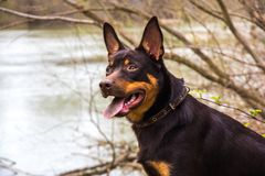 A young dog of the Australian kelpie breed plays in the forest.  Stock Photography