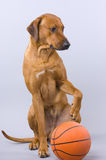 Young dog with basketball Stock Image