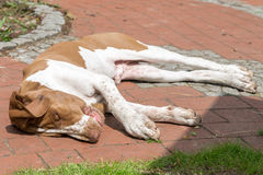 Young dog Bracco Italiano laying on a terrace Stock Photography